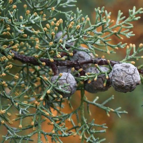 cyprès de provence